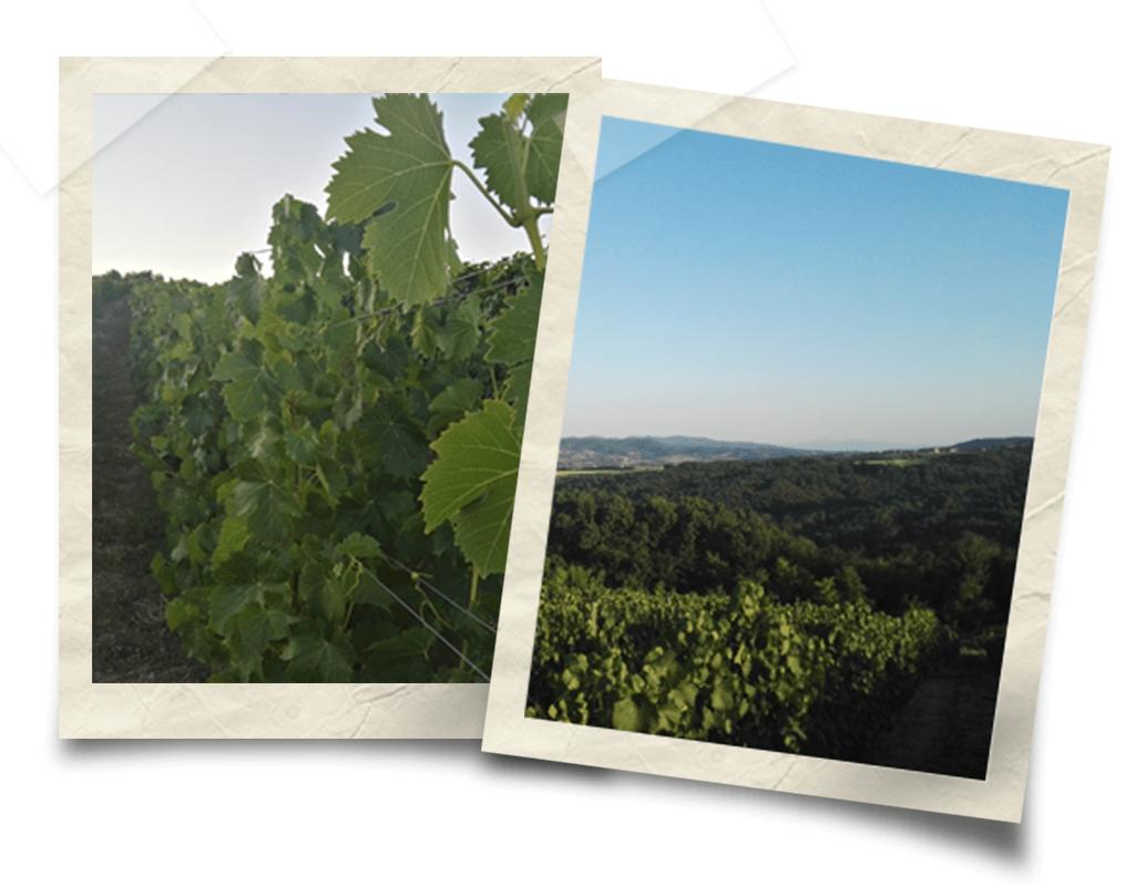 Vinogradi Tamjanike, brdo Rujevica