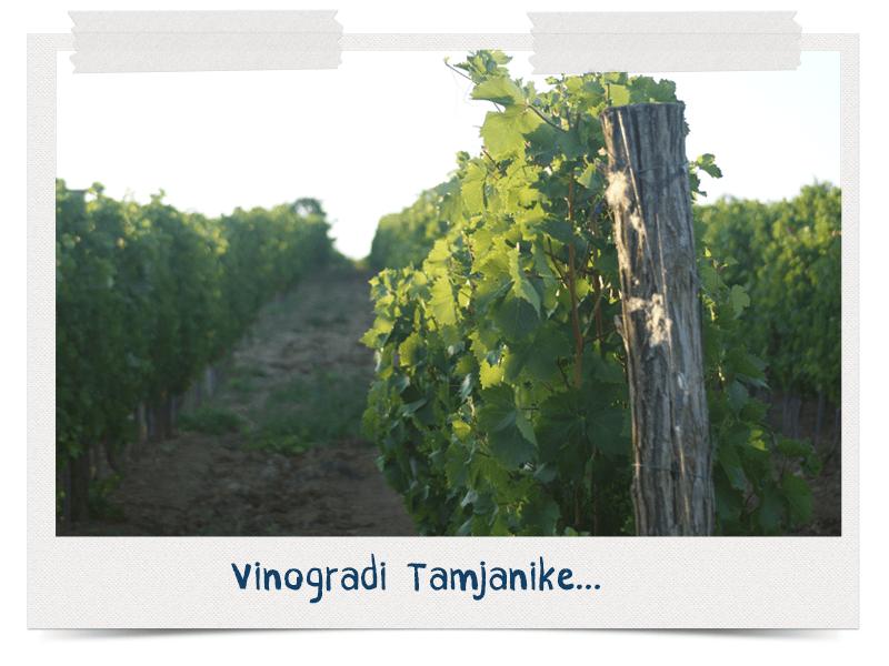 Vinogradi Tamjanike Rujevica - izgubljen u vinogradu